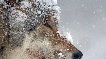 狼性文化,现在企业管理者是否该补上这一课?